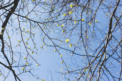 Abstract spring background. Tree branches with green buds. Royalty Free Stock Photo