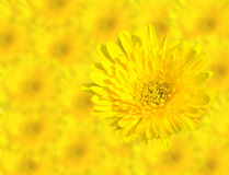 Abstract Spring Yellow chrysanthemum flowers close up  on blur flower background. This has clipping path Stock Photos