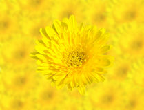 Abstract Spring Yellow chrysanthemum flowers close up  on blur flower background. This has clipping path Stock Image