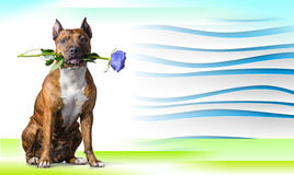Abstract striped background with American Staffordshire Terrier with a light-blue rose Stock Photography