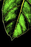 The abstract structure of a leaf's vein Stock Photo