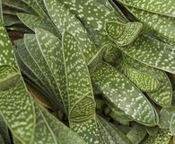 Abstract succulent plant detail Royalty Free Stock Photography