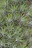 Abstract succulent plants. Abstract natural full frame detail showing some succulent plants Stock Images