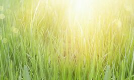 Abstract Summer Background. Photo of green lawn grass in sunlight with selective focus