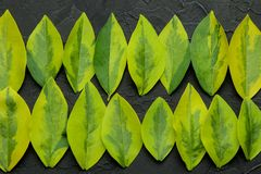 Abstract summer composition of beautiful green leaves on a concrete black background. leaf pattern. top view stock image
