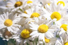 Abstract summer floral background. Close-up of beautiful chamomile flowers. Summer toning stock photography