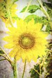 Abstract of sunflower. Field flower, sunflower, in abstract Stock Photography