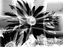 Abstract of Sunflower Head in Monochrome royalty free stock images