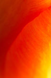 Abstract supermacro picture of garden tulip Royalty Free Stock Image