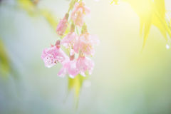 Abstract sweet cherry blossom Royalty Free Stock Photo