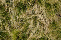 Abstract texture of dry grass. With green Royalty Free Stock Photography