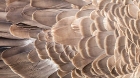 Abstract Texture of Feathers on the Back of Canada Goose. Abstract texture of the layered brown and cream feathers on the back of a Canada Goose (Branta Royalty Free Stock Photography