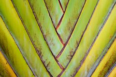 Texture pattern detail banana fan background.palm leaf background in nature weave pattern. Abstract texture pattern detail banana fan background.palm leaf Royalty Free Stock Photos