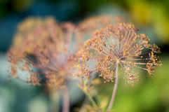 Abstract, texture - a plant dill on green blurred background Stock Images