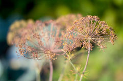 Abstract, texture - a plant dill on green blurred background Stock Image