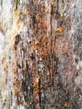 Abstract texture of a tree trunk with a bright orange lichen or fungus royalty free stock photography