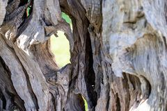 Abstract texture of a trunk an old olive tree Royalty Free Stock Photos