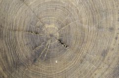 Abstract, texture in the wood of a tree elm Royalty Free Stock Photos
