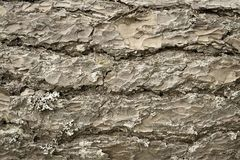 Abstract texture wooden bark of a pine beige color Royalty Free Stock Image