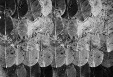 Abstract textured background is of monochrome autumn leaves next to each other covered like a carpet.  stock image