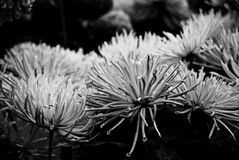 Abstract textured chrysantemum flowers Royalty Free Stock Images