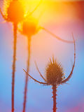 Abstract thistle Silhouette at sunset Stock Photography