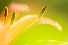 Abstract tiger lily close-up photo Royalty Free Stock Photo
