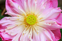 Abstract top view old pink lotus background Stock Photos