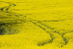 Abstract trails from tractor in yellow rapeseed field Royalty Free Stock Photo