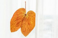 Abstract transparent Gold Leaf with beautiful texture on white curtain background. The Gold Leaf Bauhinia aureifolia or Yan Da O. Is a rare vine, native stock photo