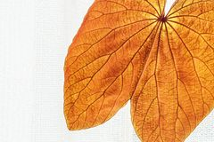 Abstract transparent Gold Leaf with beautiful texture on white curtain background. The Gold Leaf Bauhinia aureifolia or Yan Da O. Is a rare vine, native royalty free stock photography