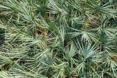 Closeup palm leaves Stock Photo