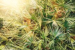 Closeup palm leaves Royalty Free Stock Images