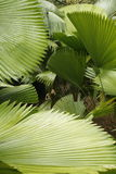 Abstract of tropical palmetto leaves in south Florida. Stock Photos