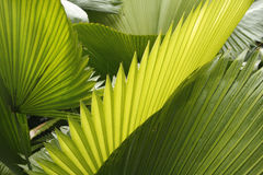 Abstract of tropical palmetto leaves in south Florida. Stock Image