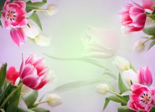 Abstract tulips background. Violet tulips for spring background Stock Photos
