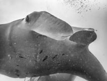 Abstract Unique Close Up Black and White Pelagic Manta Ray. Black and white abstract close up pelagic manta ray with eye and fins underwater stock images
