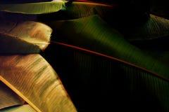 Abstract van banaanbladeren ontwerp als achtergrond | Natuurlijk textuurmilieu Stock Afbeeldingen