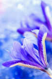 Abstract vertical blue background, modern halftones with showy picturesque bright iris flower, blurred style. Delicate Royalty Free Stock Photo