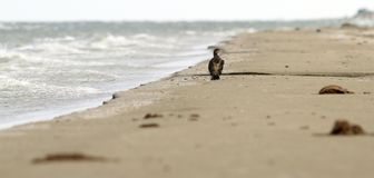 Abstract view of a cormoran on the beach Royalty Free Stock Images