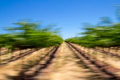 Abstract view driving beside grapevines, Sonoma County, Californ. Passenger view of Sonoma`s famous vineyards taken using a panning technique along Dry Creek royalty free stock images