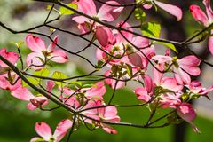Abstract View of a Pink Flowering Dogwood Tree. A abstract view of a pink dogwood flowers on a flowering dogwood tree located in the Blue Ridge Mountains of royalty free stock photos