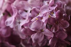 Abstract view of a twig of a blossoming purplelilac, ultra viol. Et lilac background with a bokeh. Sprig of blossoming purplelilac, ultra violet lilac in spring Stock Photo