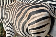 Abstract view of a zebra Royalty Free Stock Photography