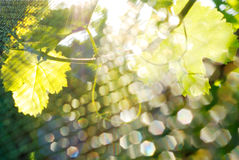 Abstract vine. Refracted light at the vineyard Royalty Free Stock Image