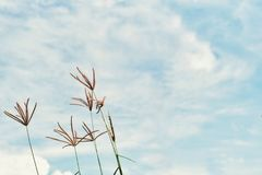 Abstract vintage picture of flower grass and weed in the field with blue sky and cloud in background. Abstract vintage picture of flower grass and weed with stock images