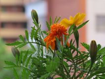 Several flowers marigolds close-up on the background of the house stock photos
