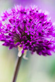 Abstract violet flower Royalty Free Stock Image