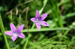 Abstract violet flowers on field Royalty Free Stock Photos