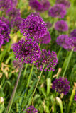 Abstract violet flowers on field Royalty Free Stock Image